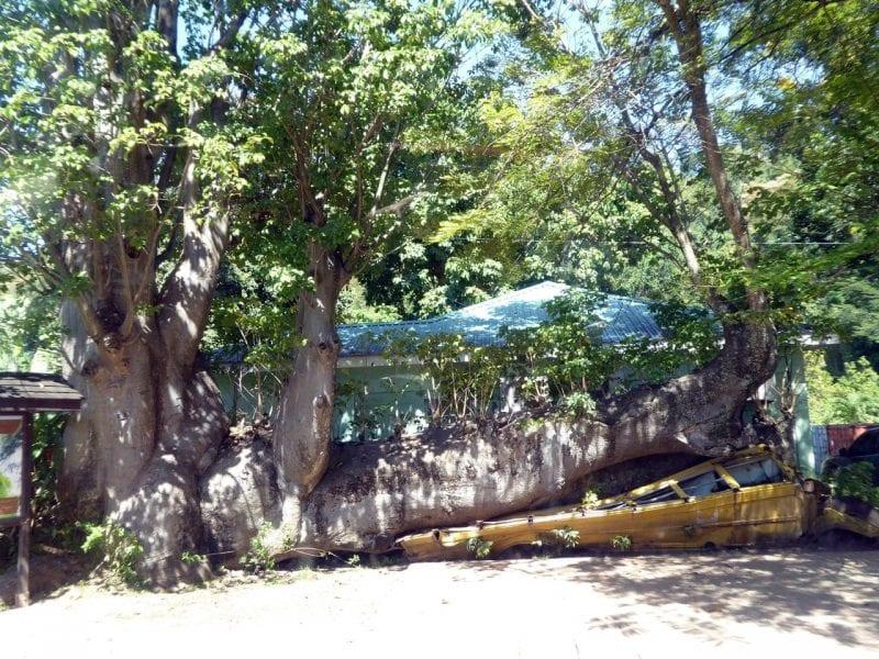 Brotfruchtbaum im Botanischen Garten: Abenteuer Inseltour Dominica Ausflug
