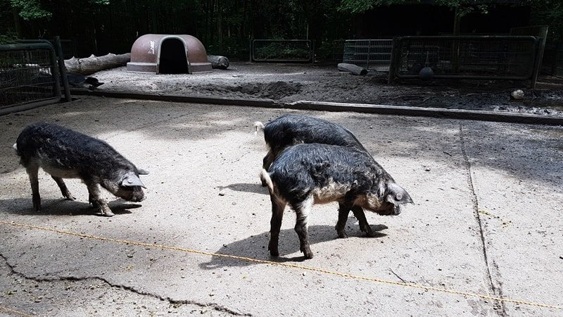 Wollschweine im Kaisergarten Oberhausen
