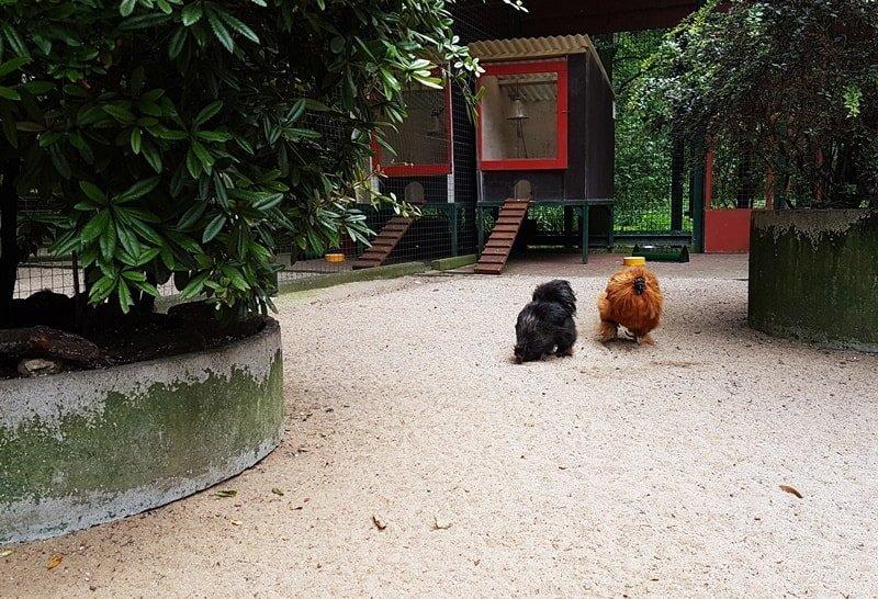 Lustige Hühner im Kaisergarten